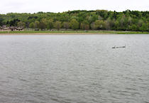 A family of geese crosses the lake